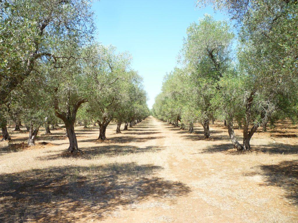 drzewa oliwne, Valle d'Itria przenieś sie domagicznej krainy domków trulli
