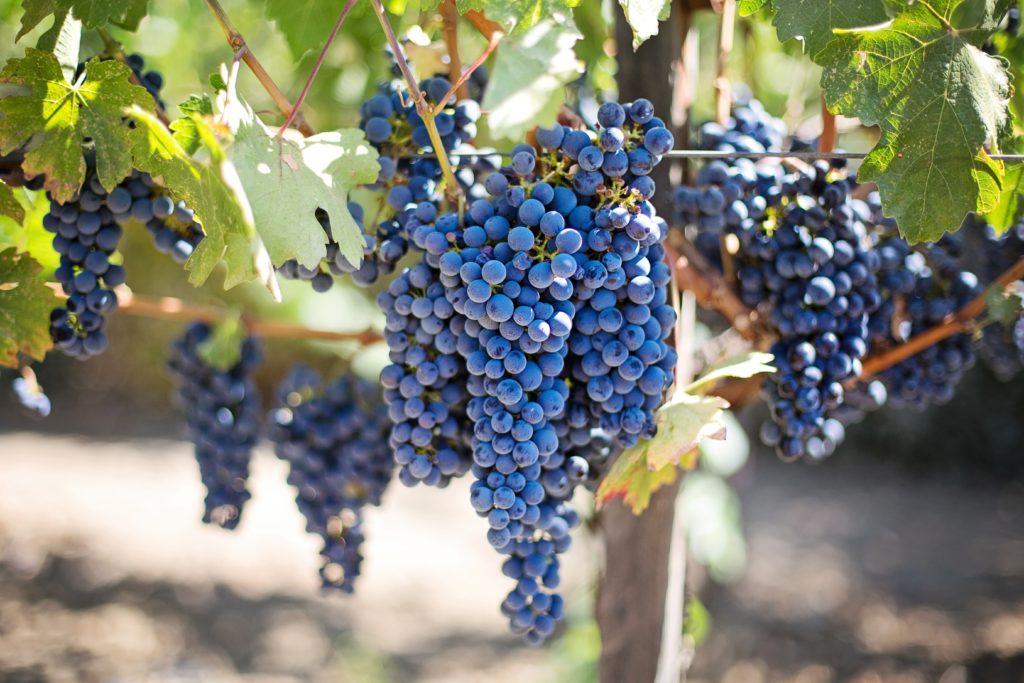 grapes Puglia, winogrona Apulia, Taranto iokolice odkryj wybrzeże morza Jońskiego